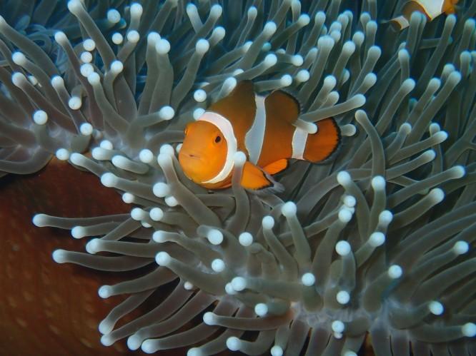 boracay clownfish