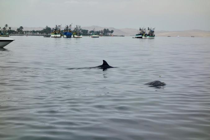 ballestas dolphins