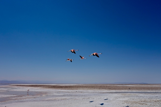 laguna chaxa flamingoes